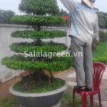 Chăm sóc cây xanh sân vườn cung văn hóa hữu nghị Việt Trung