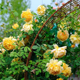 hoa-hong-leo-Golden-Celebration-Rose-7a