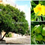Các loại cây có độc tính cần hạn chế trồng