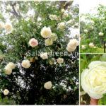 Những giống hồng lâu năm làm say đắm lòng người