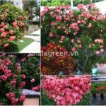 10 loại cây hoa thảm lâu năm có hoa liên tục cho sân vườn