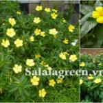 Cây hoa Dừa Vàng