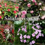 Cây hoa Ngọc Thảo