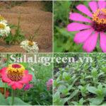 Cây hoa Cúc Zinia