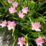 Cây hoa Tóc Tiên