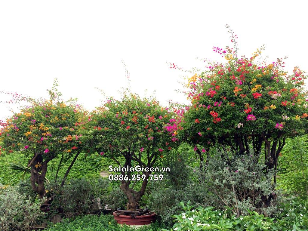 Cây hoa giấy nhiều màu