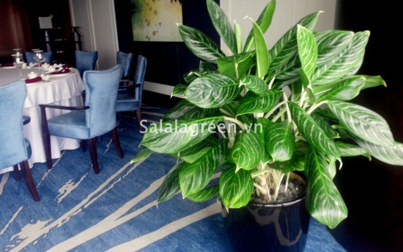 Cho thuê cây nội thất tại khách sạn 5 sao Lotte Center Hà Nội