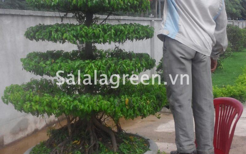 Chăm sóc cắt tỉa cây xanh Cung Văn Hóa Hữu Nghị Việt Trung
