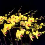 Mẫu hoa lan hồ điệp đẹp chơi tết
