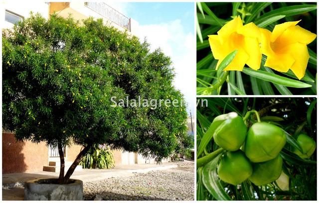 salalagreen51_cay_canh_dep