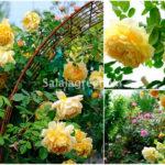 Cây hồng hungtingtun vàng