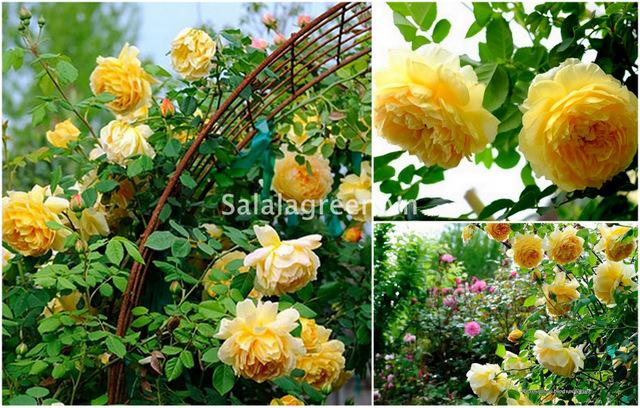 salalagreen63_cay_canh_dep
