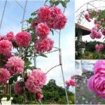 Cây hồng hungtingtun hồng
