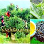 Cây Chè Shan Tuyết