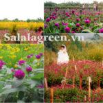 Cây hoa Cúc Bách Nhật