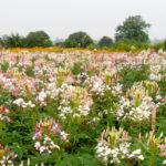 Nên trồng hoa gì mùa hè?