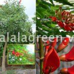 Cây Osaka Hoa Đỏ