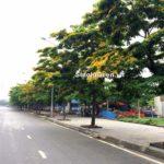 10 Các loại cây bóng mát đường phố khuyến khích trồng?